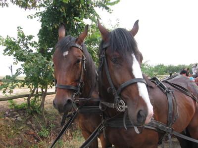 Konie portret I